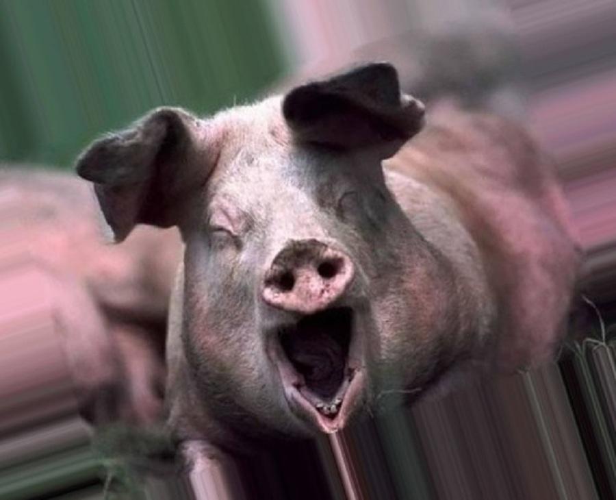 Прикольные картинки свинью, днем