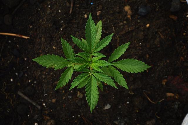 Полицейские нашли двух граждан, причастных к выращиванию и сбыту наркотиков