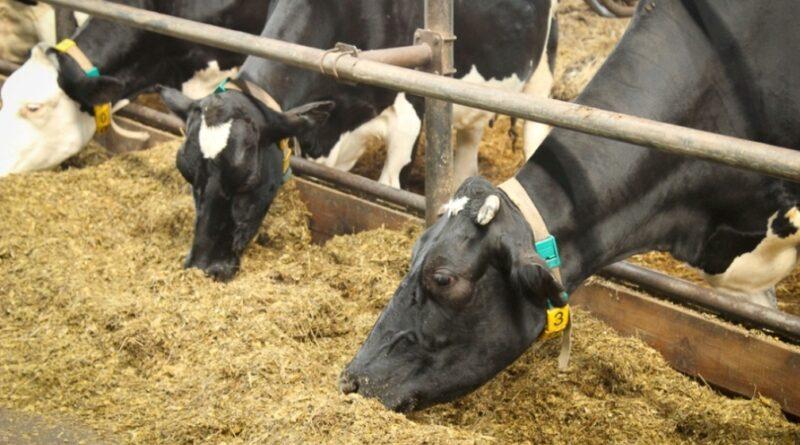 В Пензенской области произвели около 295 тыс. тонн мяса