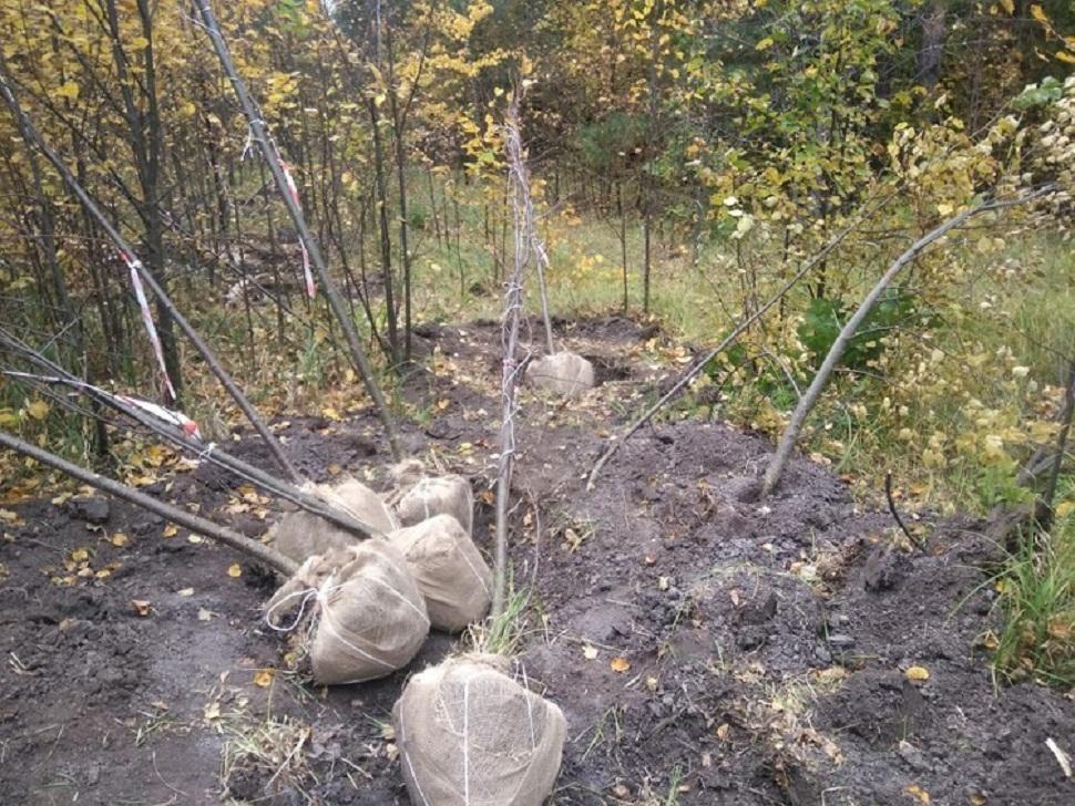 Житель Пензенской области незаконно выкопал лип на 50 тыс. рублей